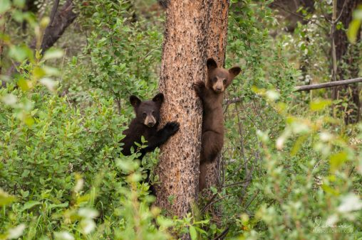 Two black bear cubs treed in a lodgepole pine tree.